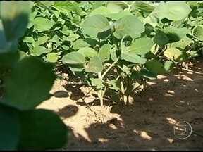 Má distribuição das chuvas traz problemas para produtores de soja em Goiás - A falta de chuva em algumas áreas tem prejudicado o desenvolvimento das lavouras da soja. Com o solo seco o ciclo das plantas foi afetado. Com a estiagem, o produtor vai colher menos.