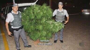 Polícia de Mococa apreende pés de maconha de 2m em quintal de casa - Polícia de Mococa apreende pés de maconha de 2m em quintal de casa.