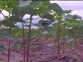Chuvas irregulares prejudicam o desenvolvimento do algodão na BA - Em algumas propriedades do oeste do estado, houve necessidade de fazer o replantio das lavouras. As áreas ainda seguem em observação.