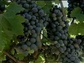 RS: Parreirais com variedades para a fabricação de vinho conquistam novas áreas - A disponibilidade de áreas para o plantio e a facilidade da mecanização tem atraído vinícolas para o Pampa Gaúcho, já que a região está na mesma faixa dos países com grande tradição em vinho da Europa.