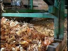 Quebra da safra de cebola deve chegar a 50% em São José do Norte, RS - Lucro foi inferior à metade do que foi obtido no ano anterior.