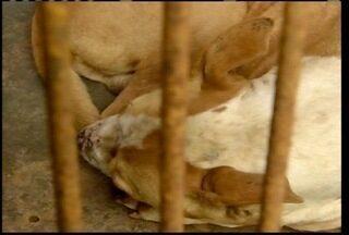 Animais com leishimaniose poderão receber tratamento contra a doença - Animais com leishimaniose poderão receber tratamento contra a doença.