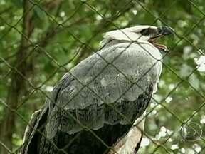 Harpias são transferidas do Norte ao Sul do país - Duas harpias foram transferidas de uma reserva do Pará até o refúgio biológico da Usina de Itaipu, em Foz do Iguaçu (PR). As aves vão participar de um projeto de reprodução em cativeiro.