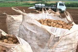 Produtores de batata do PR adiantam a colheita para aproveitar os preços - Agricultores da região centro-sul do estado colhem a safra das águas. Produtividade é a melhor dos últimos anos e o mercado está aquecido.