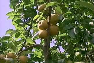 Produtores do RS estão otimistas com a safra da pêra - Colheita da fruta na Serra Gaúcha já começou. Estado é o maior produtor de pêra do Brasil, responde por metade da safra.