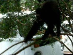 Macaco está assustando moradores de Fazenda Rio Grande - Quem já recebeu a visita do macaco diz que tem mais medo dele do que de ladrão