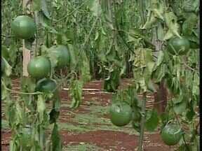 Agricultores de Barbosa Ferraz estão preocupados - Alguém cortou 80% da plantação de maracujá de um casal que mora na Vila Rudal da cidade