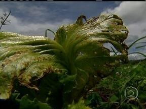 Excesso de chuvas prejudica lavouras de hortaliças no DF - Este mês de janeiro é o mais chuvoso dos últimos 33 anos no DF. As estradas que dão acesso às áreas rurais estão cheias de buraco e lama. As perdas nas lavouras chegam a 40%. As hortaliças estão apodrecendo no campo.