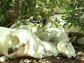 Raio mata várias cabeças de gado em propriedade de Campo Grande - Um raio matou várias cabeças de gado em uma propriedade de Campo Grande. E não é a primeira vez que a fazenda enfrenta problemas com descargas elétricas.