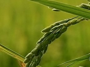 Embrapa lança nova variedade de arroz em Pelotas (RS) - A Embrapa lança uma nova variedade de arroz em Pelotas, no Rio Grande do Sul. A cultivar, apelidada de gigante, é destinada à produção de etanol.