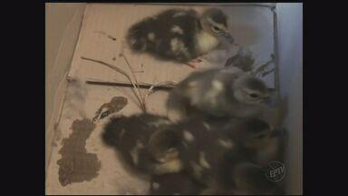 Bombeiros de Piracicaba, SP, realizam operação inusitada - Equipe retirou filhotes de pato de um apartamento.