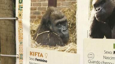 Companheira de Idi Amin, gorila que veio da Inglaterra morre em Belo Horizonte - Kifta foi encontrada neste sábado no zoológico da capital mineira.