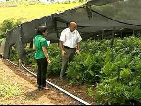 Agricultores de Barbacena, MG, investem em folhas ornamentais - Trabalhadores garantem que gastos são menores e faturamento maior. Agricultor tem 120 mil plantas.