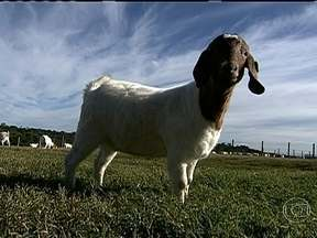 Globo Rural vai mostrar o aumento na criação de cabras no Paraná - No Globo Rural de domingo (24) você vai acompanhar como o município de Virmond vem se destacando como exemplo de sucesso na criação de caprinos de corte