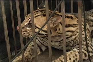 Polícia apreende uma jaguatirica no Barreto, em São Luís - Animal com aproximadamente um ano, estava na casa de um homem suspeito de traficar drogas.