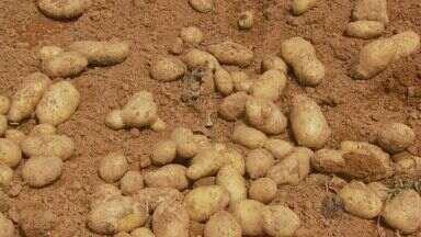 Doença na batata nas lavouras faz preço do produto disparar na região - Doença na batata nas lavouras faz preço do produto disparar na região
