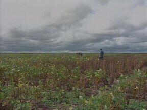 Escassez de chuva provoca perdas de até 80% na safra de soja no Piauí - Produtores afirmam que nunca haviam perdido mais de 50% da produção.