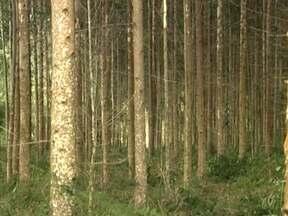 Agrônomo explica a melhor época para adubar a lavoura de eucalipto - Globo Rural responde à dúvida de Dirceu Prusnei, que tem uma plantação em Prudentópolis, no Paraná. O agrônomo ressalta que normalmente se faz o desbaste do eucalipto, quando o objetivo é produzir madeira.