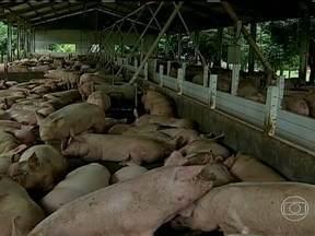 Suinocultures de Mato Grosso estão animados com recuperação da atividade - Os criadores do estado estão mais aliviados, já que os custos da alimentação dos animais estão menores. Aqueles que continuaram na atividade começam a comemorar.