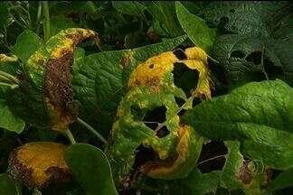 Doença ataca lavoura de feijão, mas produtores conseguem controlar a praga, em Jataí - Muitas plantações foram atacadas pelo mosaico dourado, doença transmitida pela mosca branca. Produtor que fez o manejo antecipado da lavoura conseguiu controlar a doença.