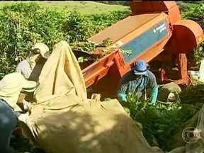 Produtores do sul de Minas Gerais antecipam colheita de café arábica - Para evitar a concorrência na hora de contratar mão-de-obra para a colheita, os agricultores da região conseguiram antecipar a maturação dos grãos. Em algumas propriedades, a colheita do café já começou.