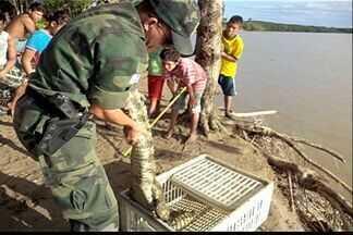 Jacaré ferido por bala é resgatado por pescadores no Norte do ES - Réptil estava debilitado e sem possibilidade de locomoção.Polícia recolheu o animal e encaminhou para cuidados veterinários.