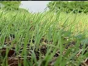 Agricultores de Itapetininga (SP) apostam no cultivo de trigo - A área cultivada com o trigo aumentou na região de Itapetininga, no estado de São Paulo. Com o clima favorável ao desenvolvimento da cultura, os agricultores apostaram no cereal, estimulados pelo bom preço de mercado.