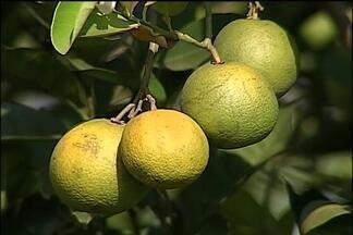 Incidência de amarelinho diminui em pomares de laranja de SP - Doença, responsável pela redução da produtividade nos laranjais, vem diminuindo principalmente em plantações mais novas. O recuo tem a ver, segundo especialistas, com algumas medidas tomadas nos últimos anos