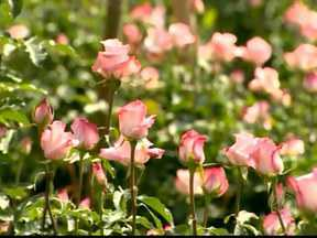 Produção de rosas em Barbacena, MG, dobra para o dia das mães - Produtores comemoram o preço, em média, de R$20 a dúzia.