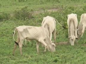 Criadores acreditam que chuva dos últimos dias não é suficiente para alimentar o gado - A Bahia já perdeu um milhão de animais, por causa seca que já dura dois anos.