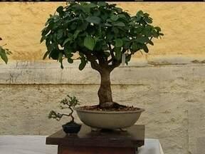Exposição de bonsai é a dica para o domingo (12) do Dia das Mães - A árvore em miniatura é o símbolo da longevidade, da sabedoria e do equilíbrio. veja como fazer uma visita a essa exposição de bonsai.