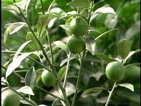 Clima favorece o plantio de nova árvores de citrus - Citricultores precisam estar atentos à troca dos palmares para garantir produtividade.