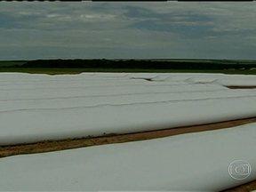 Produtores importam bolsões de plástico para estocar grãos, em Mato Grosso - Agricultores de Mato Grosso estão improvisando para não perder a produção. A colheita de milho começa no mês que vem, mas os armazéns estão lotados de soja e não há espaço para a nova safra.