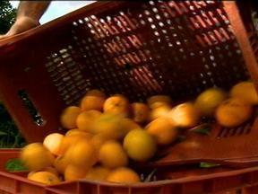 Produtores de citrus da região metropolitana de Porto Alegre pagam prejuízo do ano passado - Colheita enfrenta problemas de mão de obra.