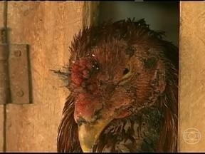 Polícia ambiental prende pessoas envolvidas em briga de galo no Paraná - Nove pessoas foram presas pela polícia ambiental do Paraná por envolvimento em briga de galo. Mais de 100 aves estavam em uma propriedade rural no município de Ubiratã.
