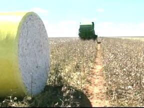 Clima e ataque de pragas prejudicam a produtividade do algodão na BA - Começou a colheita do algodão no oeste da Bahia. Os agricultores não estão nada satisfeitos com o resultado.
