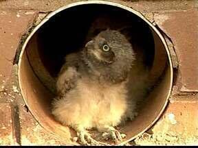 Aves são consideradas símbolos de sabedoria em Ituiutaba, MG - Para alguns, ave é também sinal de agouro.Coruja dá equilíbrio ambiental.
