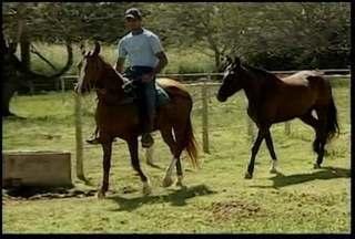 Cavalos manga larga machador recebem tratamento especial em Valadares - Raça é de origem brasileira e se destaca pela marcha