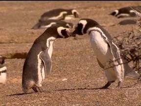 Pinguins podem trocar monogamia por ninho mais confortável - Os pinguins são monogâmicos, mas uma especialista em biologia marinha explica que o relacionamento não é tão duradouro como se imagina.