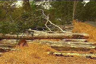Corte de floresta de eucaliptos revolta moradores de Caçu, no sul de Goiás - Árvores plantadas na década de 80 são consideradas um cartão postal da cidade.