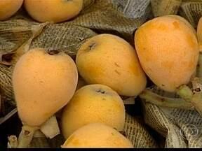 Safra da nêspera é menor em Mogi das Cruzes (SP) - Agricultores de Mogi das Cruzes, em São Paulo, estão satisfeitos com a qualidade da nêspera. A fruta cresceu bem e está bonita. Mas o volume da safra é bem menor este ano.