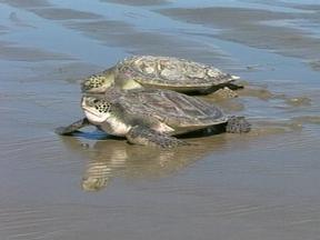 Tartarugas foram largadas na praia do Cassino, RS - Tempo firme e com sol ajudou no trabalho dos profissionais.