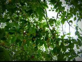 Prefeitura não recomenda o plantio de árvore frutíferas nas calçadas e áreas públicas - Mas quem tem uma em casa, não reclama. Muito pelo contrário.