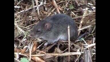 Hantavirose já fez seis vítimas este ano no estado - Lei municipal em Campo Novo do Parecis obriga produtores rurais a adotar medidas de prevenção ao rato silvestre.