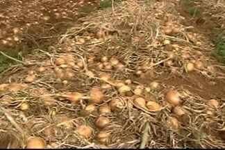Minas Gerais terá a maior produção de cebola dos últimos 20 anos - A área plantada aumentou e a produtividade também. O preço pago ao produtor, que estava bem atrativo na colheita do primeiro semestre, já não agrada tanto.