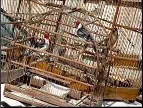 41 pássaros silvestres foram apreendidos no Vale do Aço - 17 apreensões foram feitas em Timóteo.