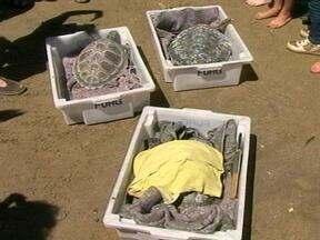 Três tartarugas marinhas são liberadas na Praia do Cassino em Rio Grande, RS - Estudantes de escola da cidade acompanharam a soltura.