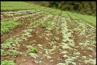 Produtores de Teresópolis, RJ, se preocupam com a venda de hortaliças - Verduras estão estragando por falta de compradores.