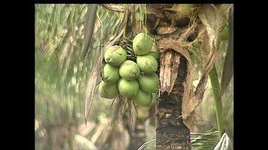 Linhares, ES está entre os maiores produtores do país de café conilon, cacau, mamão e coco - Produtores rurais comemoram os destaques.