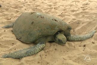 Tartaruga marinha é encontrada encalhada no litoral norte de João Pessoa - Animal estava doente e foi recolhido pra ser tratado em ONG.